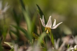 Trout lily (Rona Neri-Bergmann)