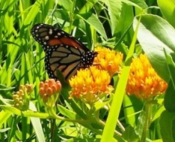 Monarch butterfly & butterfly milkweed. (Photographer unknown)