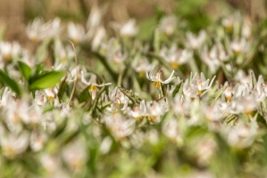 Trout lillies (Rona Neri-Bergmann)