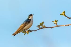 Swallow (Rona Neri-Bergmann)