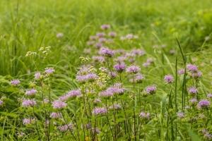 Bee balm / wild bergamot (Rona Neri-Bergmann)