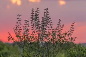 Wild baptisia at dusk (Rona Neri-Bergmann)